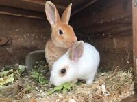 Baby girl bunnies for sale