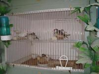 young budgies and zebra finches
