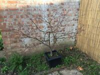 Red Acer Tree - 127cm tall potted in 32cm wide pot