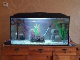 112 litre Aquael fish tank, 1x gold gourami, 1x Congo tetra, 1x barb, 1x 7/8inch leopard pleco
