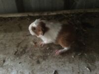 Lovely home breed gunniepigs for sale boars and sows for sale