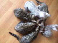 Pure bengal kitten sale