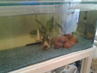 tank 7 red bellied piranhas