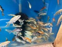 Assorted Koi & Goldfish
