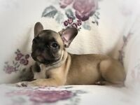 KC Registered French Bulldog pups