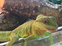Chinese water dragon and set up