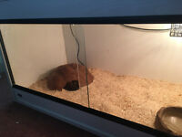 Female royal/ball python with full setup and vivarium