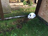 Black and white baby rabbit