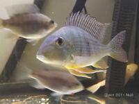 Geophagus fish
