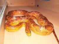 Beautiful 2 year old corn snake and 3.7ft x 1.5ft x 1.5ft vivarium. Now REDUCED £90.