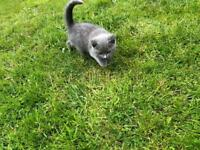 Blue Male British Shorthair For Sale ready to leave now