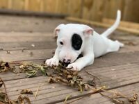 English bull terrier x staffy puppies