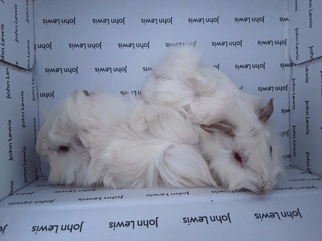 Fluffy, white baby guinea pigs