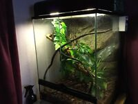 Anoles with vivarium and all equipment