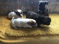 Poodle x Yorkshire terrier puppies for sale