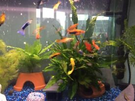 Tropical fish ( sword tails , Platy , guppies )