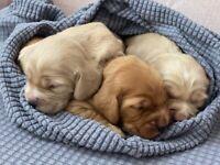 Beautiful gold cocker spaniel puppies