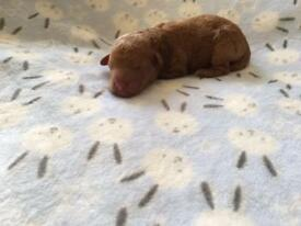 KC miniature poodle puppies