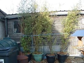 Bamboo plants black large approx 3.5 meter tall