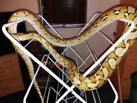 Reticulated python for sale.