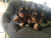 4 Yorkshire Terrier for sale