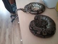 Male and female pythons