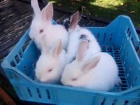 Lovely Lionhead mix rabbits looking for a home