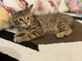 Stunning female Bengal x kitten ready to go now!
