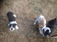 English KC bulldog puppy