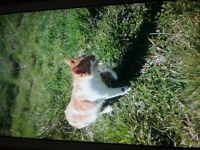 Lost ginger and white cat from liversedge/heckmondwike