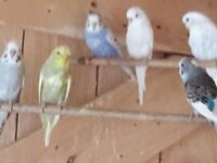 15 young budgies for sale