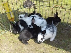 BABY ENGLISH SPOT RABBITS FOR SALE £10 EACH