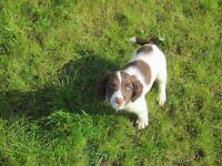 KC REG Springer Spaniel Pups For Sale 3 BOYS Available