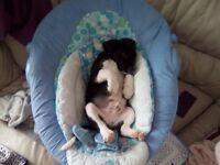 Spanie x beagle pups
