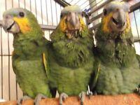 Baby Amazon Parrots Hand feed
