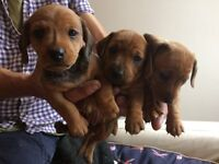 Jackshounds Puppies For Sale