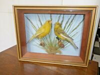 TAXIDERMY pair of Canaries (Serinus canaria domestica) in glass wall hanging case