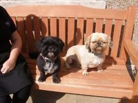 2 SHIH TZU DOGS in need of A NEW FOREVER HOME , 1 male and 1 female