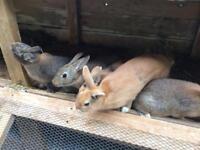 Netherland Dwarf/New New Zealand Rabbits