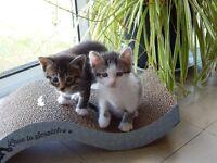 Very Cute Bengal Cross Kittens