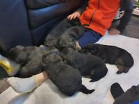 Chunky Big Boned German Shepherd Pups looking for forever home.