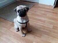 Female pure bred pug puppy for sale