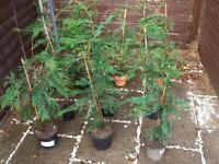 Ten 3 foot / 36 inche conifers potted