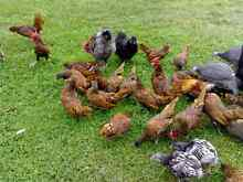 Golden Sebright Bantams. roosters.hens.chicks Thomastown Whittlesea Area Preview