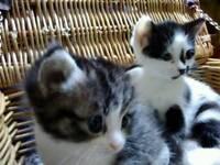 Kittens for sales