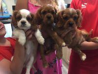 KC reg Cavalier King Charles puppys
