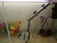 large angel fish