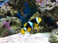 Clown fish pair
