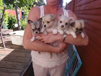 Pure long coat Chihuahua puppies