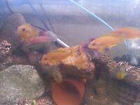 lombardi cichlids